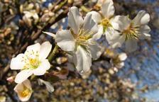 Ametllers florits en una 'primavera avançada' a Lleida