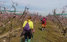 Los árboles en flor de Aitona reciben 500 visitas