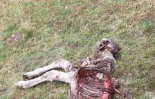 El poltre mort en aquest primer atac de Goiat després de la hibernació a Aran.