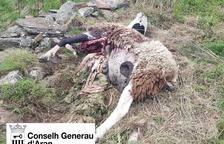 Imatge de l'ovella morta a Bausen per l'atac de l'ós Goiat.