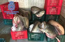 Detinguts a Lleida per pescar i vendre il·legalment quatre tones de silurs