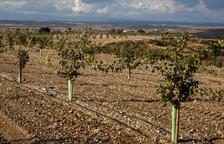 El pistatxo arriba al Canal d'Urgell i el grup Borges preveu tenir-ne 500 ha en deu anys