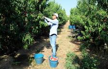 Imatge d'arxiu de recollida de fruita de pinyol en una finca de Lleida.