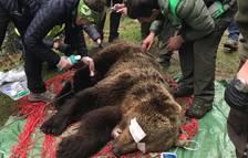 Capturan un oso de 120 kilos en Vielha para colocarle un sistema de seguimiento por GPS