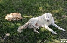 Localizan dos perros abandonados en el Jussà