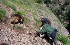 Els Agents Rurals van trobar la cabra morta del ramat de Conca de Dalt.