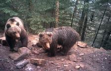 Primer rastro del oso en Andorra tras cinco años