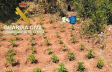 Confiscadas más de 2.400 plantas de marihuana en Os de Balaguer