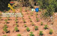 Marihuana en Os de Balaguer