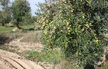 Imagen de archivo de una finca con olivos en las comarcas de Lleida.
