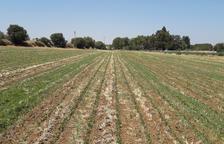 El Segarra-Garrigues planta 2 ha de alubias, proyecto pionero en Lleida