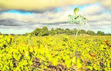 La sequía obliga a implantar goteo en viñas y olivos de Les Garrigues