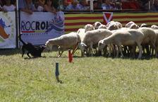 Un dels gossos que van competir ahir en el XXXIII Concurs de Gossos d'Atura de Llavorsí encarant-se amb una ovella del ramat.