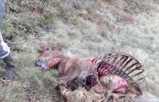 Segon atac de l'ós Cachou a un cavall a Aran en una setmana