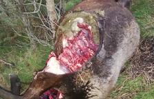El ataque de un lobo mata a tres ovejas y obliga a sacrificar otras 7 el Solsonès