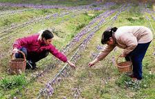 El calor retrasa la cosecha de azafrán en Lleida