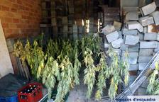 Los Mossos d'Esquadra detienen a tres personas por tener 463 plantas de marihuana en una masía del Solsonès