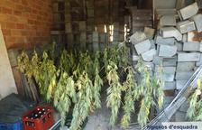 Decomisan 520 plantas de marihuana en el Solsonès y la Ribagorça
