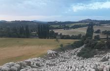 Más de 2.500 ovejas bajan desde Castanesa a Alcarràs