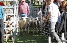 "Un momento del concurso de ""oveja xisqueta"" que se celebró durante la mañana de ayer en Sort."