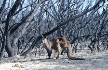Austràlia ordena sacrificar uns 10.000 camells per falta d'aigua
