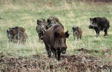 Polònia ha trobat senglars morts per pesta porcina africana.