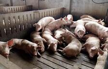 Imagen de archivo de una granja de porcino de la comarca del Segrià.