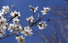 Una abella a punt de gaudir ahir amb les flors d'aquests ametllers a Mollerussa.