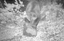 Impulsan un sistema para informar en directo sobre osos
