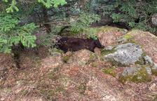 Hallan muerto al oso Cachou en un paraje de difícil acceso en Les