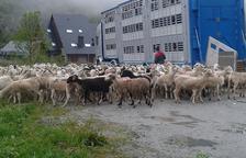 Veintiséis ganaderos guardan su ganado del oso en Casau y Beret