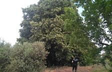 Almacelles quiere declarar Árbol de Interés Local y Comarcal el conocido como Tilo del Copeo