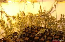 Detenida una pareja de Torregrossa por cultivar 2.000 plantas de 'maría'