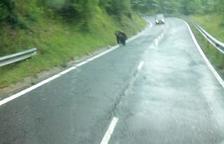 Un oso sorprende en el Pallars tras andar por la L-503 cerca de un pueblo de la Vall Fosca