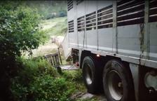 Ramats de vaques per reduir el risc d'incendis a Bausen