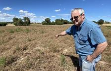Les pluges castiguen el cultiu del pèsol a la Segarra
