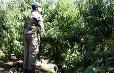 Unió de Pagesos rechaza que se responsabilice el sector de la fruta del confinamiento decretado en el Segrià
