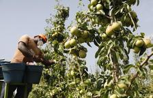 El ministeri d'Agricultura preveu una collita estable de pera i un 2,4% menys de poma