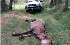 Hallan muerta una yegua sin chip en Montferrer i Castellbó