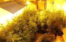 Cultiva 840 plantas de marihuana en una vivienda de la Segarra