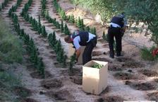 Decomisan 1.800 plantas de marihuana en Flix