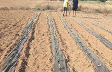 Proven onze cultius d'hivern al camp experimental de Fraga