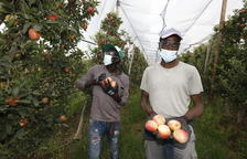Un temporero en plena campaña de recogida de la manzana en una explotación de Golmés.