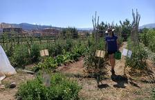 Recuperan hortalizas tradicionales del Pallars