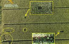 Decomisan 16 plantas de 'maría' ocultas entre el maíz en la Noguera