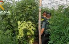 Troben una altra plantació de marihuana al Solsonès