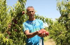 Un productor de Alcarràs, mostrando en junio los estragos del pedrisco en la fruta de hueso.