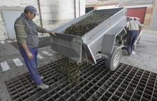 Imagen de archivo de la cosecha de olivas.