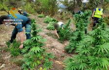 Plantació de marihuana a la Ribagorça aragonesa