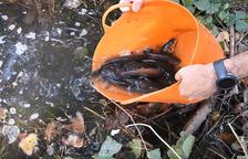 Liberan más de mil peces autóctonos en Alguaire